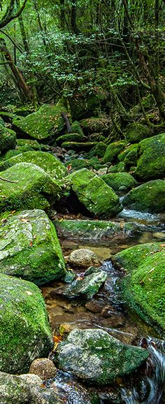 A Stream in the Cedar Forests of Yakushima, Japan