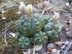 Gymnocalycium paraguayense | cactusinhabitat