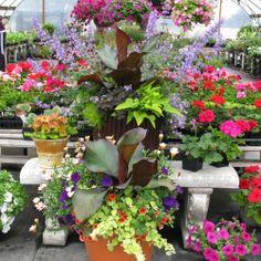 imagem de jardinagem do recipiente de plantações coloridas no jardim ...