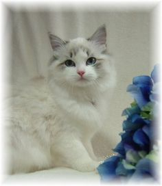 lynx ragdoll, my sister has a ragdoll and I want one so bad! Cute Kitten Pics, Kittens Cutest, Cats And Kittens, Pretty Cats, Beautiful Cats, Animals Beautiful, Pretty Kitty, Ragdoll Cat Breed, Super Cute Animals