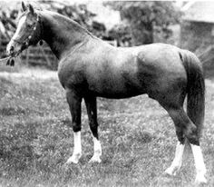 Mesaoud - 1887 chestnut stallion (Aziz x Yemameh) with sabino and/or splash markings. He is a foundation sire for the Arabian horse.
