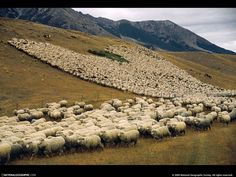 new zealand sheep | New Zealand's most famous sheep was named Shrek. When he died ...