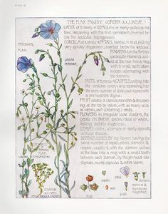 Flax Family - Wild Flower Botanical print by Isabel Adams - Antique Print