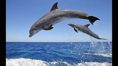 Bottlenose Dolphin Wallpaper Dolphins Animals Wallpapers) – Wallpapers For Desktop Dolphin Photos, Dolphin Images, Swimming Pictures, Swimming Memes, Swimming Fitness, Swimming Funny, Bottlenose Dolphin, Humpback Whale, Pool Accessories