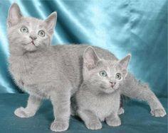 Russian blue cats.... - Pixdaus
