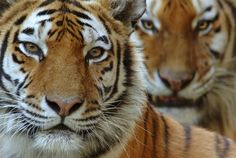 Listed as Endangered. Amur tigers were once found throughout the Russian Far East, northern China, and the Korean peninsula. By the 1940s, hunting had driven the Amur tiger to the brink of extinction—with no more than 40 individuals remaining in the wild. The subspecies was saved when Russia became the first country in the world to grant the tiger full protection. By the 1980s, the Amur tiger population had increased to around 500. Although poaching increased after the collapse of the Soviet…