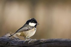 A regular visitor to most peanut feeders, the Coal Tit will take and store food for eating later #RealTweetWeek