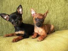 Black/tan and red/black Prazsky Krysarik pups