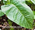 ✿ INDIAN TOBACCO ~ LOBELIA  helps smokers kick the habit and repair their lungs    Learn more: http://www.naturalnews.com/035119_tobacco_lung_health_addiction.html#ixzz1uM5yjcEf