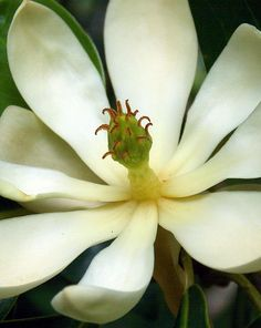 Wild White Magnolia print, framed print, canvas print, tin print, acrylic print, greeting card, wall art, wall décor, photo art