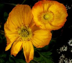 POPPY (YELLOW ) - Wealth, Success