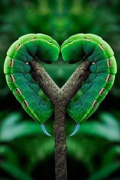 Photo of Moth Caterpillar love :) for fans of Beautiful Pictures 34674075 I Love Heart, With All My Heart, Happy Heart, Heart In Nature, Heart Art, Nature Nature, Green Nature, Cool Photos, Beautiful Pictures