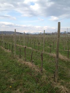 La vigna del Refosco a Fratta di Romans d'Isonzo