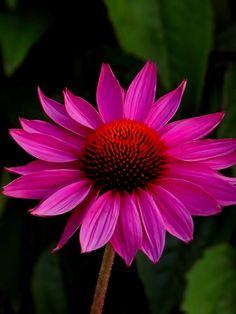 Purple Coneflower. Echinacea p. Pow Wow Wild Berry. Award winner! I have this paired with Russian sage.