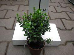 Myrsine africana - kapská myrta