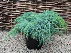 Juniperus squamata 'Blue Carpet' is a vigorous conifer with striking silver blue foliage particularly in winter.