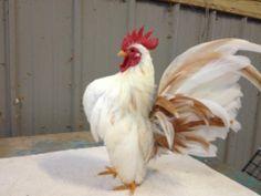 Butterscotch Serama Roo. #chicken #poultry