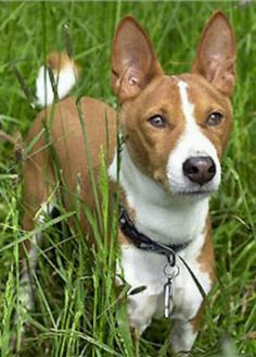 Basenji-A poised, elegant hunting dog from Africa, the Basenji is smoothly muscular and moves with ease and agility.He is known for his fastidious habits and being full of play and activity. Because he often worked out of sight of hunters, he can tend to be independent and aloof and prefers to meet strangers on his own terms.