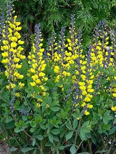 Baptisia Lemon Meringue (False Indigo) Save room for this vigorous flowering variety. The delectable lemon-yellow flowers contrast handsomely with the striking dark charcoal-colored stems. This series offers luscious, ultra-colorful flower spikes that adorn the compact, well-branched foliage. It is exceptionally long-lived; choose a good shrub-sized space and enjoy its carefree nature. Deer resistant; attracts butterflies. Learn more at: https://www.bluestoneperennials.com/BALM.html