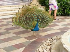 Peacocks that roam the resort at Sandals Whitehouse in Jamaica! REALLY?!