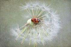 Dandelion lady by Jacky Parker on 500px