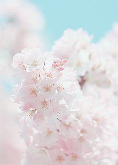 yuffii: Sakura (by *Yumi*)