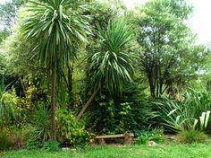 New Zealand Green Cordylines trees. Nice thin trunks and bushy tops.