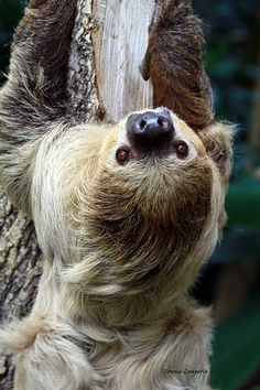 Two-Toed Sloth by Connie Lemperle