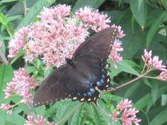 Beautiful butterfly...Twin Lakes...
