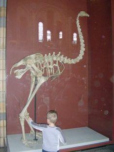 Moa Great Auk, Flightless Bird, Extinct, Skeletons, Madagascar, Prehistoric, Fossils, Elephant, Creatures