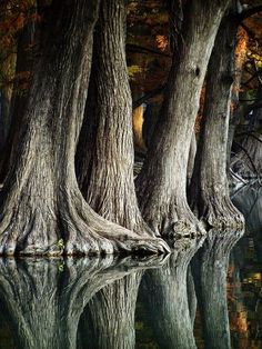 Reflection of cypress trees in Frio river,  Texas USA, makes one think of elephant feet
