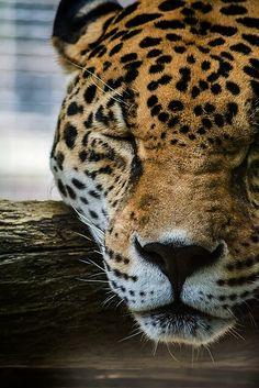 Leopard shut eye