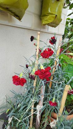Karanfil çiçeği