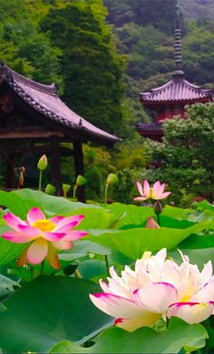 Lotus flowers at Mimurotoji temple in Kyoto, Japan - Lotus Seerose - Flower Beautiful World, Beautiful Gardens, Beautiful Flowers, Beautiful Places, Jolie Photo, Parcs, Japanese Culture, Japan Travel, Wonders Of The World