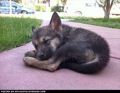 Tired Pup - 8 weeks old Tamaskan puppy