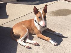 Lost Dog - Bull Terrier - Port Dover/Simcoe, ON, Canada N3Y 4K2 http://www.helpinglostpets.com/petdetail/?id=243185