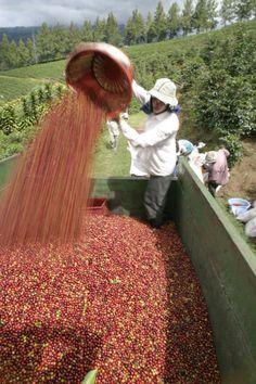totalmundi.com. ***-Recolectando el café. Lo llamamos el Grano de Oro