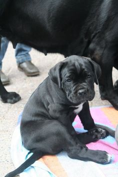 Little Cane Corso. Couple months and youre mine! <3