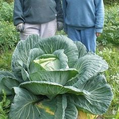Cabbage Giant Russian Vegetable Seeds (Brassica oleracea) 100+Seeds - Under The Sun Seeds  - 2