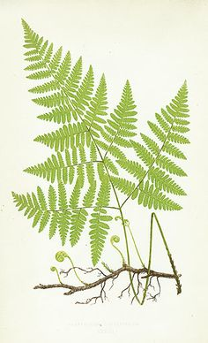 A simple fern botanical illustration.