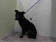SAFE --- SUPER URGENT 1/21/14  Manhattan Center    WISTERIA - A0990027   SPAYED FEMALE, BLACK / WHITE, PIT BULL MIX, 8 yrs  STRAY - ONHOLDHERE, HOLD FOR ID Reason STRAY   Intake condition GERIATRIC Intake Date 01/21/2014, From NY 10452, DueOut Date 01/28/201 https://www.facebook.com/photo.php?fbid=745080098838205&set=pb.152876678058553.-2207520000.1390402205.&type=3&theater