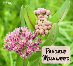 Asclepias sullivantii is a prairie milkweed that also grows well in garden settings. It's shorter than common milkweed and does not spread as aggressively. It is a host plant for monarch caterpillars and nectar treat for a bounty of butterflies. Small Flowers, Wild Flowers, Beautiful Flowers, Prairie Garden, Meadow Garden, Milkweed Plant, Monarch Caterpillar, Growing Seeds, Seed Pods