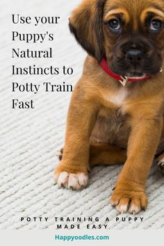 Join us as we show you how you can use your puppy's natural instincts to potty train a puppy quickly. (#Puppypottytraining, #Howtopottytrainapuppy) Training Your Puppy, Potty Training, Dog Training Tips, Dog Commands, Natural Instinct, Dog Treat Recipes, Dog Behavior, New Puppy, Diy Stuffed Animals