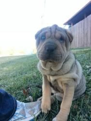 ADOPTED!!!! Gadget. Looking for a home. Shar Pei/pug mix. Baby female. Click photo for adoption information. Hands, Hearts, and Paws - Omaha, Nebraska. Rescue dogs are the best!