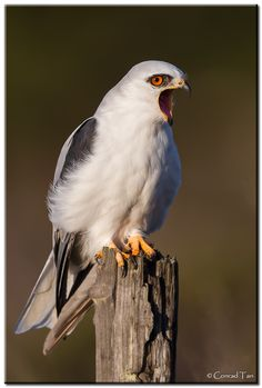 White-tailed Kite (Elanus leucurus) is an elanid kite of genus Elanus found in western North America and parts of South America.  Their coloration is gull-like, but their shape and flight falcon-like, with a rounded tail. Mainly white underneath, they have black wingtips and shoulders. A mid-sized kite.