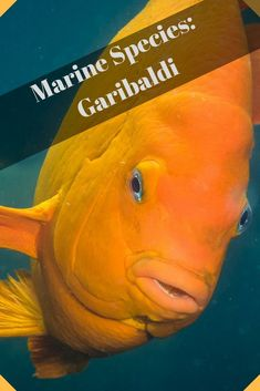 The unmistakably bright orange garibaldi brightens up the kelp forests in its native home of Southern California.