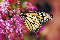 S.F. floats ban on releasing bred butterflies | Other News | San ...
