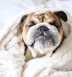 This adorable bulldog has the cutest wrinkly face! Love My Dog, Puppy Love, Bulldog Puppies, Cute Puppies, Dogs And Puppies, Bulldogs Ingles, Cute Bulldogs, Bullen, British Bulldog