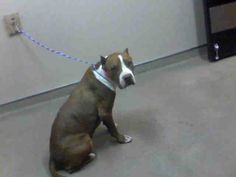 *HYDE-ID#A669315    Shelter staff named me HYDE.    I am a female, brown and white Pit Bull Terrier.    The shelter staff think I am about 6 years old.    I have been at the shelter since Sep 25, 2012.