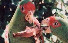 Lps loros colaboran en la expansión de la araucaria brasileña